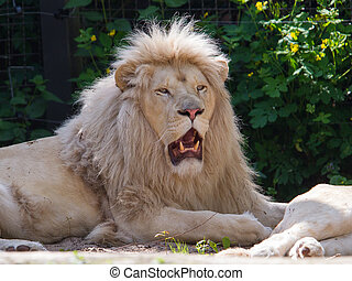 Male African white lion