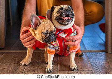 Man holding and stroking his pets pug dog and french bulldog. Happy dogs dressed in knitted sweaters at home. Dogs and owner indoors, pets, togetherness, friendship concept. Pet adoption.