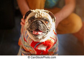 Man stroking pug dog. Dogs and owner indoors, pets, togetherness, friendship concept. Pet adoption.