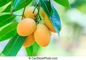Mayongchid Maprang Marian Plum and Plum Mango thailand Orchard