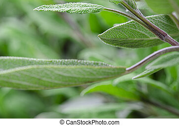 Medicinal plants in the garden: a young sage bush