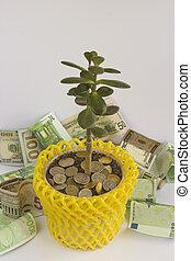 Money tree in the pot.