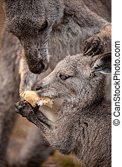 Mother kangaroo sharing food wih her joey