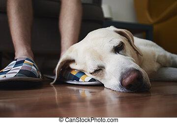 Old dog sleeping on leg his owner
