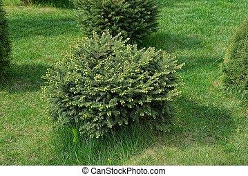 one round coniferous ornamental bush