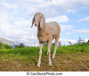 one sheep against sky background