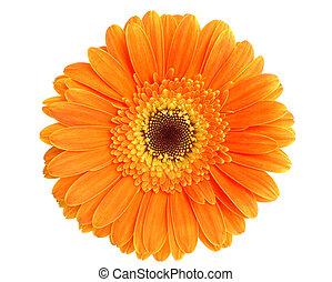 Orange gerbera isolated