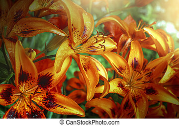 orange lilies in garden arter rain, floral background with sunny light