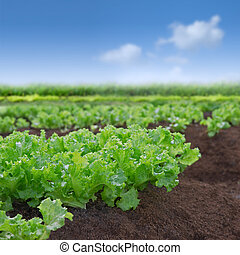 Fresh green organic lettuce in natural setting