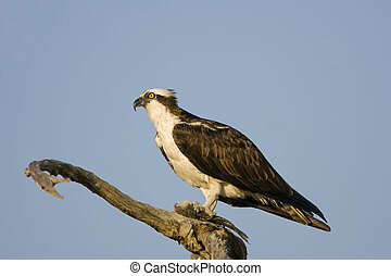 An Osprey perched in a tree and eating a fish
