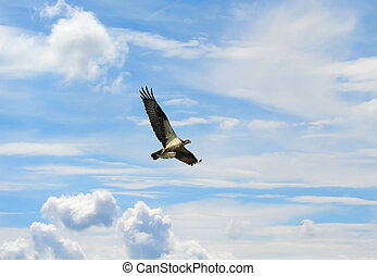 Osprey flying high in clouds with fish over Chesapeake Bay