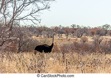 Ostrich standing in the busveld