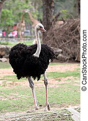 Ostrich standing in the zoo