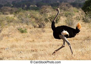 Ostrich standing on the Savana
