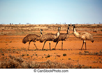 Emus in the wild, outback New South Wales, Australia.