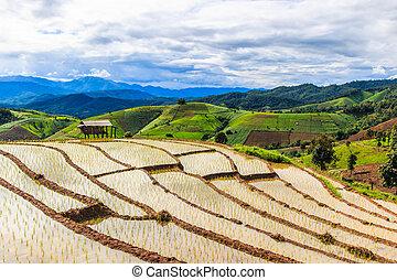 Paddy - rice fields at pa pong peang chiang mai asia Thailand