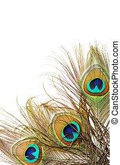 Three Beautiful peacock feathers, close up , micro shot