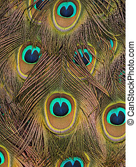 Pretty peacock feathers for a abstract and textured background