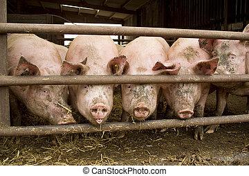 pig stood in muddy pen on a farm