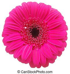 Pink Gerber flower on white