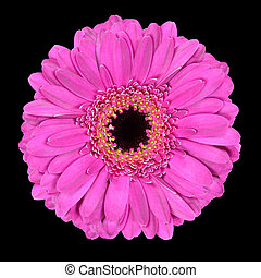 Pink Gerbera Flower Macro Isolated on Black