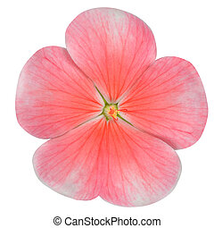 Pink Periwinkle Flower Isolated on White