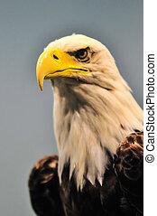 North American Bald Eagle profile