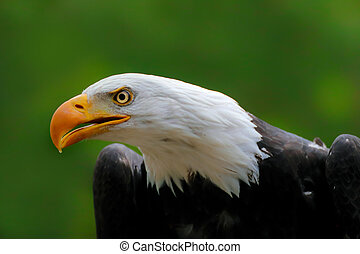 Portrait face american eagle with green background