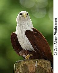 Portrait of a Fish Eagle