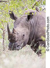 Portrait of an old rhino hiding for poachers in a dense bush