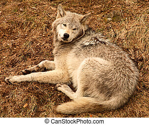 Pregnant Wolf Looking Up at the Camera