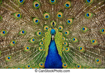 Colorful male peacock displaying his tail feathers