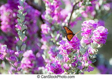 Purple Sage Queen Butterfly