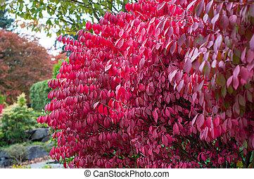 Red burning bush plant