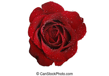red rose and white