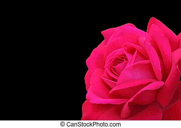red rose over black