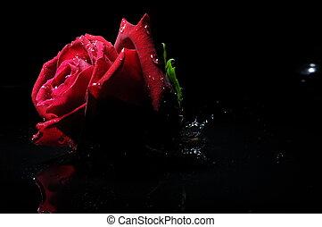red rose splash