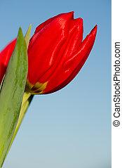 Red tulip in sun