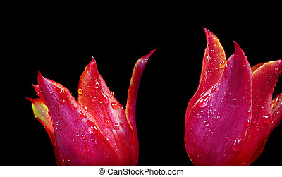 red tulips in drops of water on black close-up.