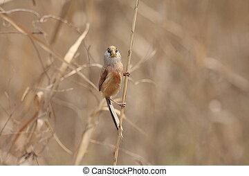 Reed Parrotbill