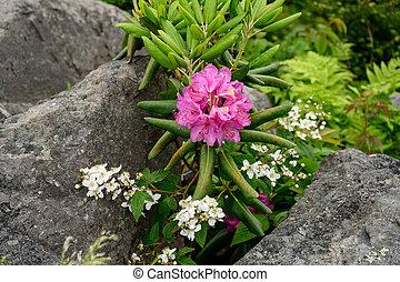 Rhododendron Blooms Between Boulders