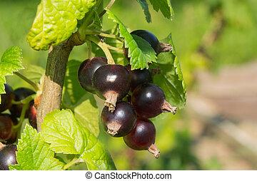 ripe blackcurrant bush