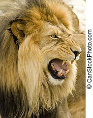 Close-up of roaring lion