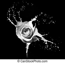 rose splashes
