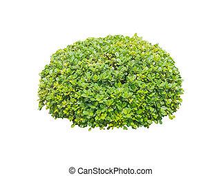 Round ornamental bush isolated
