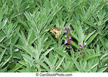 Sage bush and butterfly