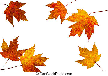Scattered Fall Maple Leaves Isolated on White Background