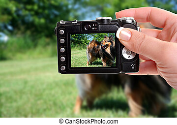 woman taking snapshot of shetland sheepdog with compact camera