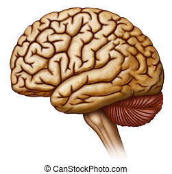 Side view of the human brain