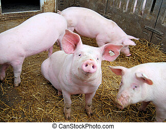 Cute young pigs on hay in a piglet